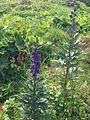 Aconitum napellus AC.jpg