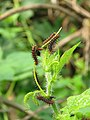 Acraea violae - Tawny Coster caterpillars on the leaves of hostplant Passiflora foetida at Palappuzha (2).jpg