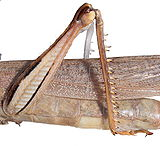 Acridae hind leg.jpg