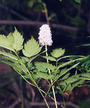 Description de l'image Actaea pachypoda1.jpg.