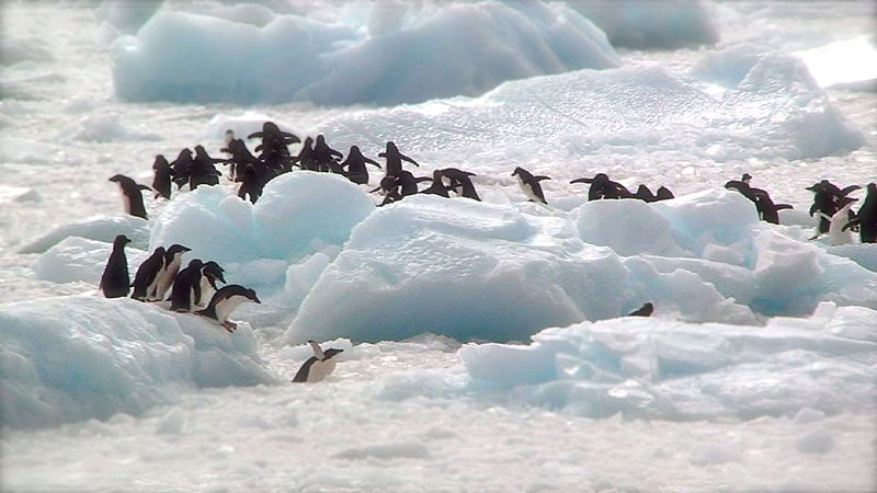File:Adélie penguins in Antarctica, Antarctic Peninsula.JPEG