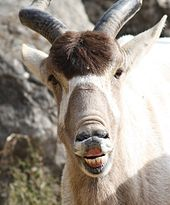 An addax's face – he's looking into the camera and raising his upper lip, making it look as though he's laughing.