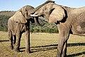 Addo Elephant Park, Eastern Cape (6252666635).jpg
