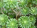 Aeonium percarneum.jpg
