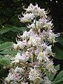 Aesculus hippocastanum bloemenhoofd1.jpg
