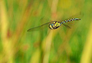 Aeshna cyanea male in flight