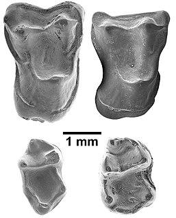 <i>Afrasia djijidae</i> species of higher primates