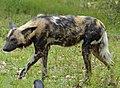 African Wild Dog (Lycaon pictus) under the rain (14004497662).jpg