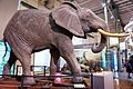 African elephant in Museum.jpg