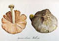 Agaricus volvaceus — Flora Batava — Volume v12.jpg