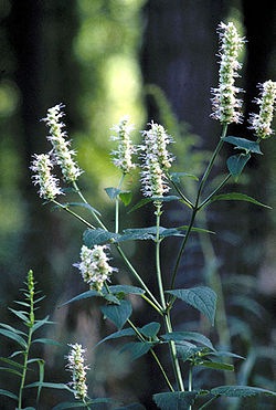 Agastache nepetoides