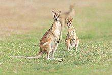 Agile Wallaby pair - East Point Reserve.jpg