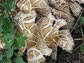 Agrocybe aegerita gljiva (5).jpg