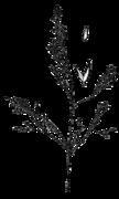 Agrostis idahoensis drawing.png