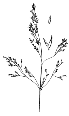 240px agrostis idahoensis drawing