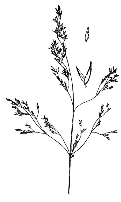 500px agrostis idahoensis drawing