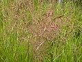 Agrostis stolonifera (3821005564).jpg