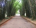 Alameda, bambus, Pq. do Ibirapuera 1.JPG