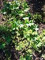 Alchemilla glabra 'smooth ladys mantle' 2007-06-02 (plant).JPG