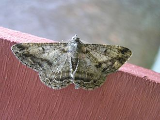 Mottled beauty - Image: Alcis repandata Fv L