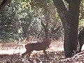 Alert Deer.jpg