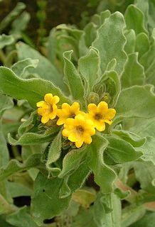 <i>Alkanna</i> genus of plants