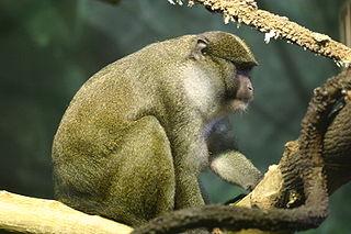Allens swamp monkey Species of Old World monkey