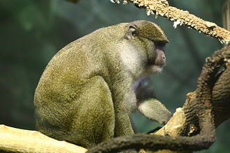 Allen's swamp monkey - Image: Allens swamp monkey
