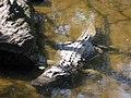 Alligator (3900057308).jpg