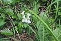 Allium triquetrum L. (AM AK343850-2).jpg