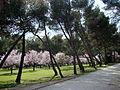 Almendros, pinos, camino, sombras.jpg