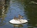 Almost fledged mallards (48685755162).jpg