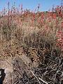 Aloe parvibracteata 3 (10222769465).jpg