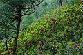 Alpenrose (16812393522).jpg