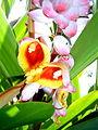 Alpinia zerumbet - geöffnete Blüten.jpg