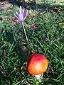Amanita muscaria (23285642765).jpg
