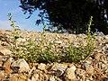 Amaranthus albus sl36.jpg