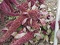 Amaranthus caudatus5.jpg