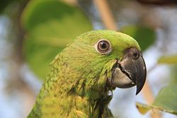 Amazona auropalliata -Guatemala -head-8.jpg