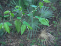 American-Elm leaves (5622592050).png