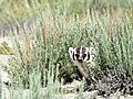 American Badger on Seedskadee National Wildlife Refuge (28250885435).jpg