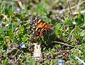 American Lady butterfly - FOS (13654740915).jpg