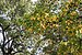 American sweetgum in New York Botanical Garden (80636).jpg