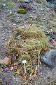 Ammophila arenaria - Botanischer Garten, Dresden, Germany - DSC08706.JPG