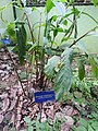 Amomum subulatum-2-JNTBGRI-kerala-India.jpg