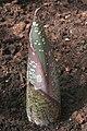Amorphophallus titanum01.jpg