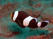 Amphiprion Species ed2.JPG