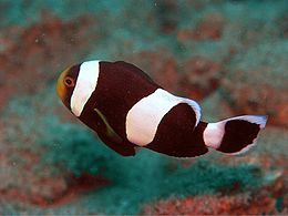Amphiprion Species ed2