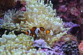 Amphiprion ocellaris(1).JPG