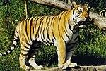 Amur or Siberian tiger (Panthera tigris altaica), Tierpark Hagenbeck, Hamburg, Germany - 20070514.jpg